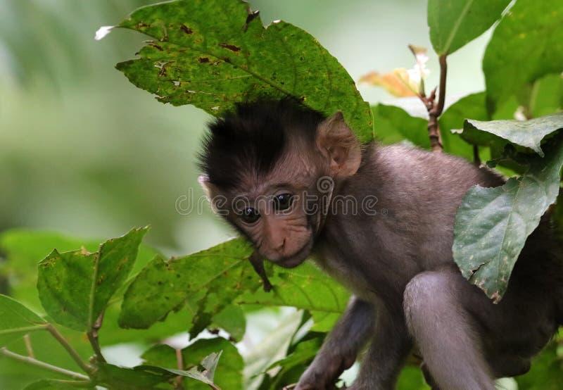 Beau portrait unique de singe de bébé à la forêt de singes dans Bali Indonésie, animal assez sauvage image stock