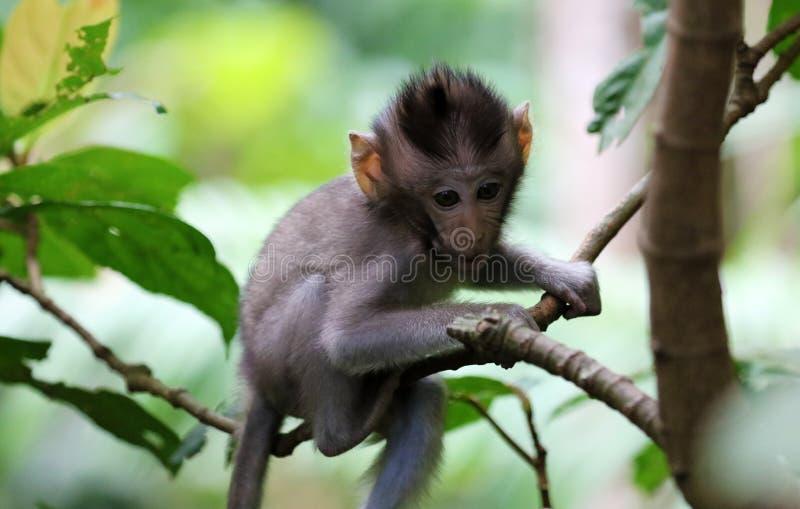 Beau portrait unique de singe de bébé à la forêt de singes dans Bali Indonésie, animal assez sauvage photo libre de droits