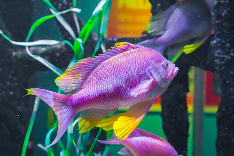 Beau pourpre rose vibrant et portrait animal coloré jaune de vie marine sous-marine tropicale de poissons de cichlid photographie stock