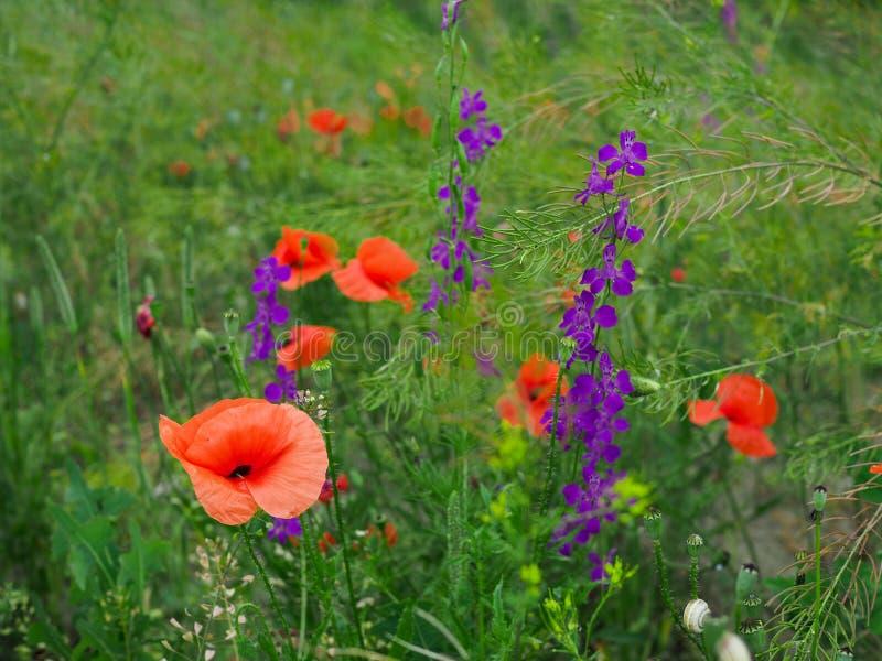 Beau pré coloré d'été avec les pavots rouges et les fleurs pourpres et jaunes de pré photo libre de droits