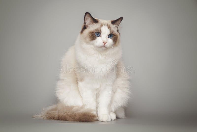Beau ragdoll blanc pelucheux de chat avec des yeux bleus posant tout en se reposant sur le fond gris image libre de droits