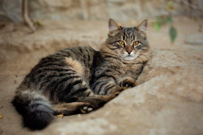 Beau, rayé chat se trouvant imposant au sol en dehors de la maison et regardant soigneusement la caméra photo stock