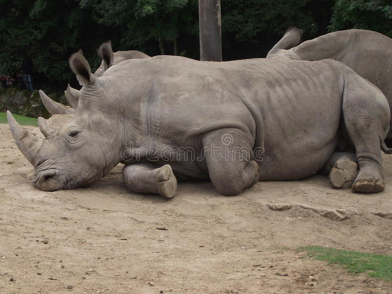 Beau rhinocéros photos stock
