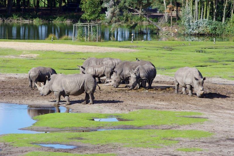 Beau rhinocéros de photo avec le bébé photographie stock