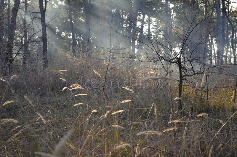 Beau roseau dans la brume dans les rayons du soleil photos stock