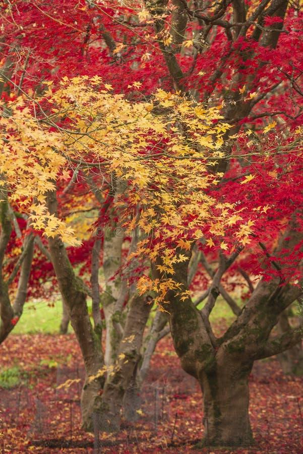 Beau rouge vibrant color? et arbres d'?rable japonais jaunes en d?tail de paysage de r?gion bois?e de for?t d'Autumn Fall en angl photographie stock