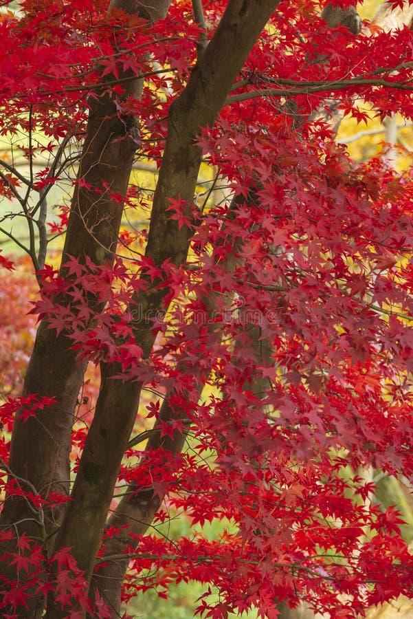 Beau rouge vibrant color? et arbres d'?rable japonais jaunes en d?tail de paysage de r?gion bois?e de for?t d'Autumn Fall en angl photos stock