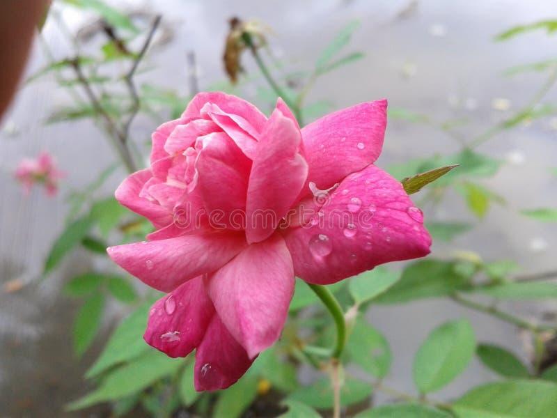 Beau s'est levé dans le jardin du Sri Lanka images stock