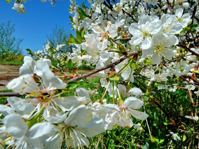 Beau Sakura de floraison Cherry Blossom Au Japon, Sakura symbolise les nuages ?tant donn? que beaucoup de fleurs de cerisier photographie stock libre de droits