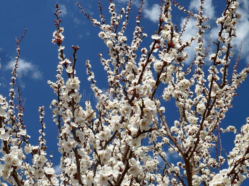 Beau Sakura de floraison Cherry Blossom Au Japon, Sakura symbolise les nuages images libres de droits