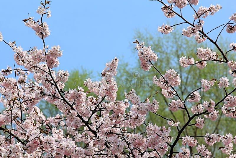 Beau Sakura de floraison sur le fond des arbres verts et du ciel bleu de ressort photographie stock libre de droits