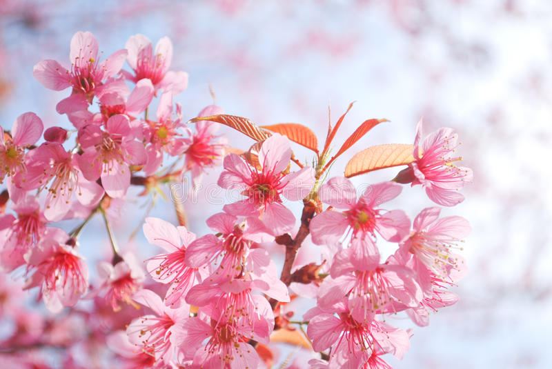 Beau Sakura thaïlandais chez Khun-Chang-kien, Thaïlande photographie stock libre de droits