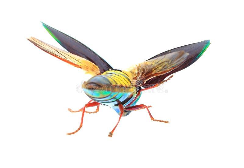 Beau scarabée de bijou ou vue supérieure métallique de Bois-sondage (Buprestid) d'isolement sur le fond blanc image stock
