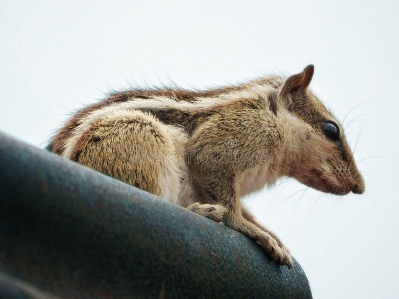 Beau se tenir le premier rôle brun mignon en écureuil image libre de droits