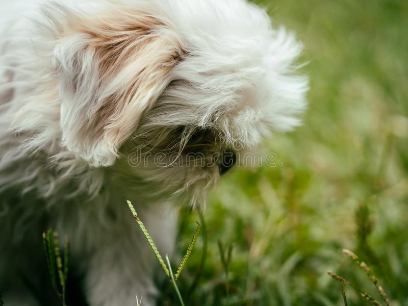 Beau Shih Tzu Puppy blanc images stock