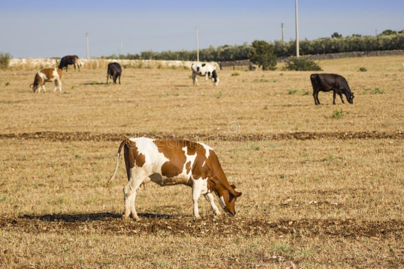 Beau simmenthal de vache image libre de droits