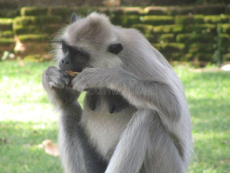 Beau singe de Sri Lanka photo libre de droits