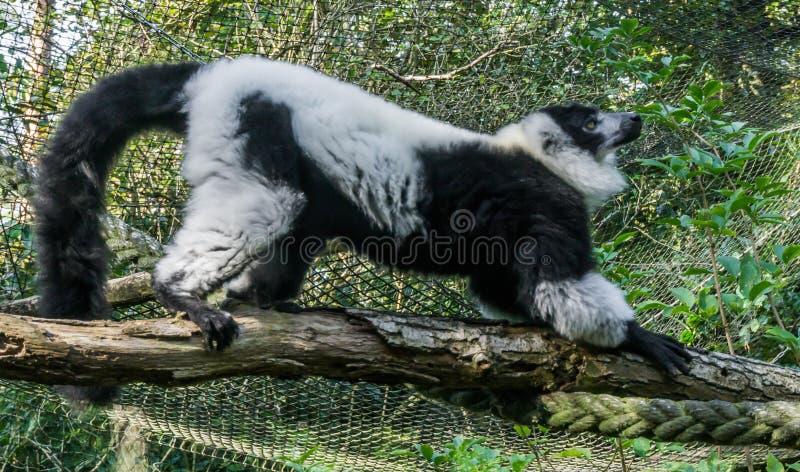 Beau singe noir et blanc ruffed de lémur se tenant et s'étirant sur une branche photos stock