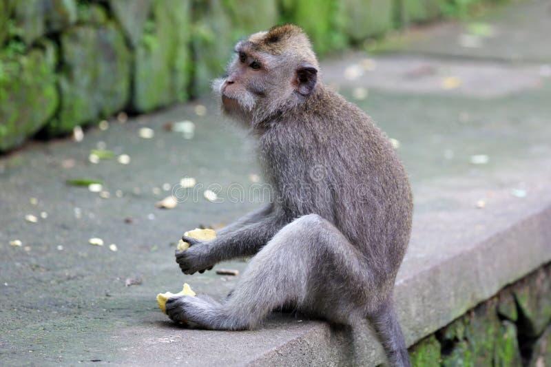 Beau singe unique de portrait à la forêt de singes dans Bali Indonésie, animal assez sauvage photos stock