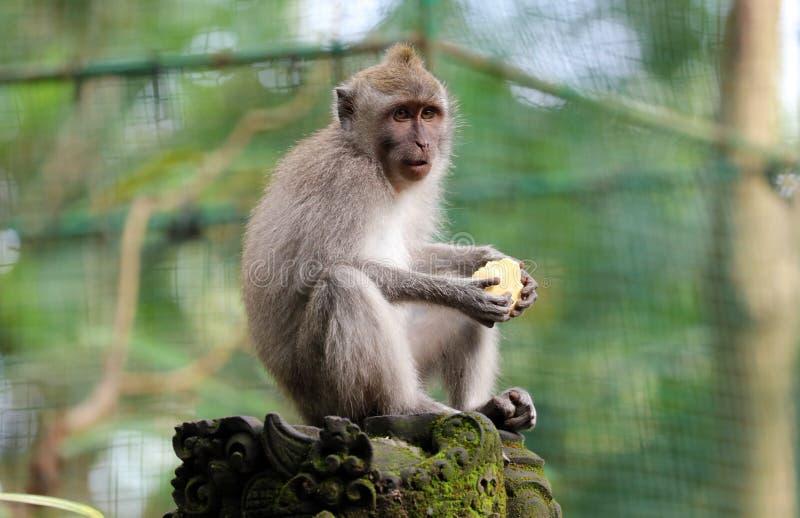 Beau singe unique de portrait à la forêt de singes dans Bali Indonésie, animal assez sauvage images stock