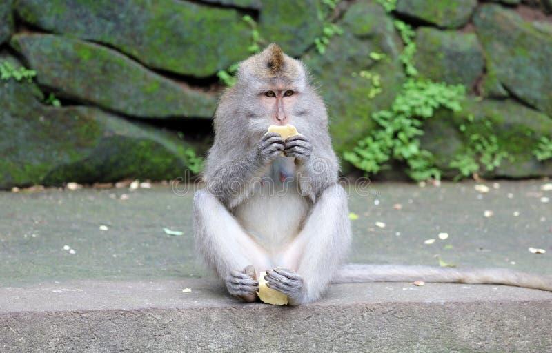 Beau singe unique de portrait à la forêt de singes dans Bali Indonésie, animal assez sauvage image libre de droits