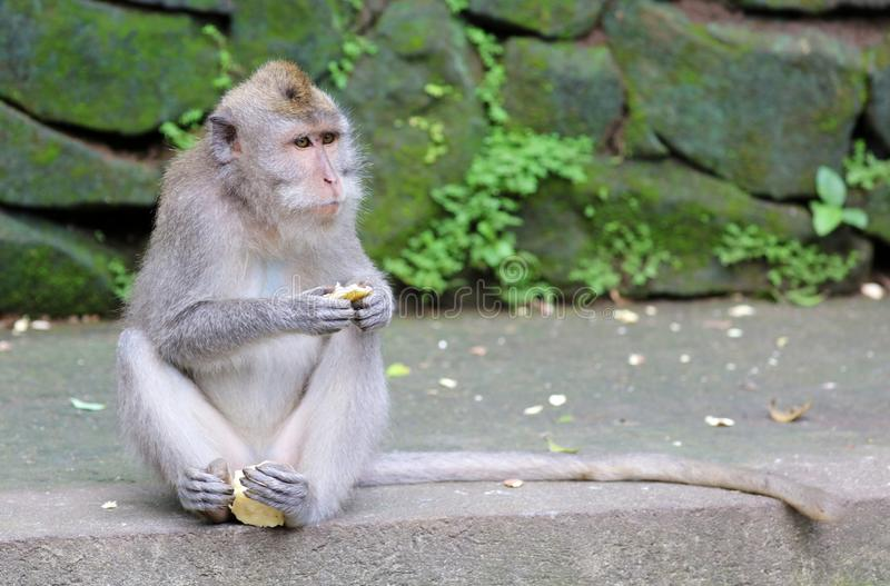 Beau singe unique de portrait à la forêt de singes dans Bali Indonésie, animal assez sauvage image stock