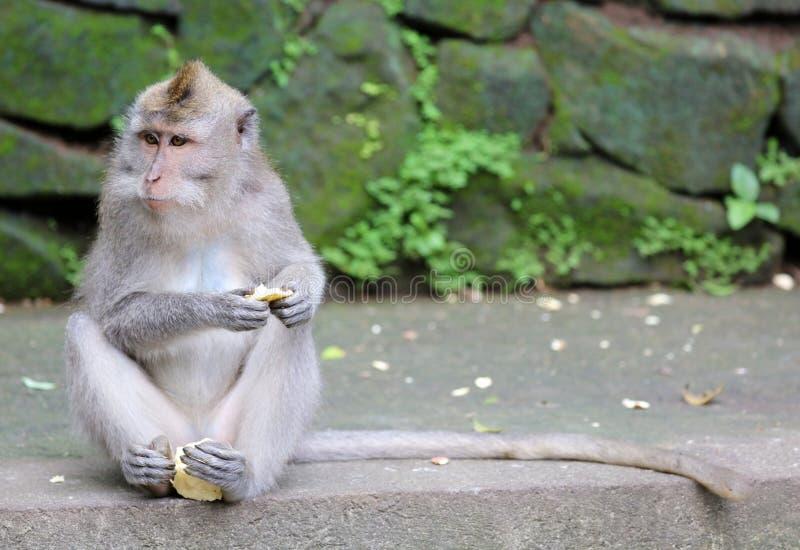 Beau singe unique de portrait à la forêt de singes dans Bali Indonésie, animal assez sauvage photographie stock