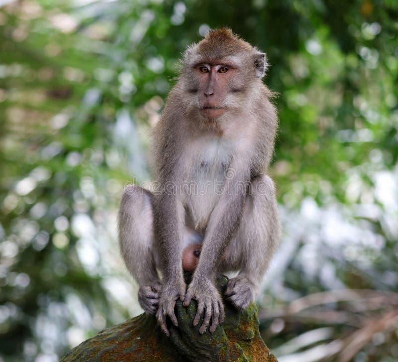 Beau singe unique de portrait à la forêt de singes dans Bali Indonésie, animal assez sauvage photo stock
