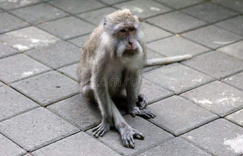 Beau singe unique de portrait à la forêt de singes dans Bali Indonésie, animal assez sauvage images libres de droits