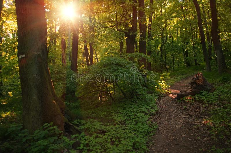 Beau soleil de Sun de lever de soleil de coucher du soleil en Sunny Forest Sunlight Sunbeams Through Woods en Forest Landscape photographie stock libre de droits