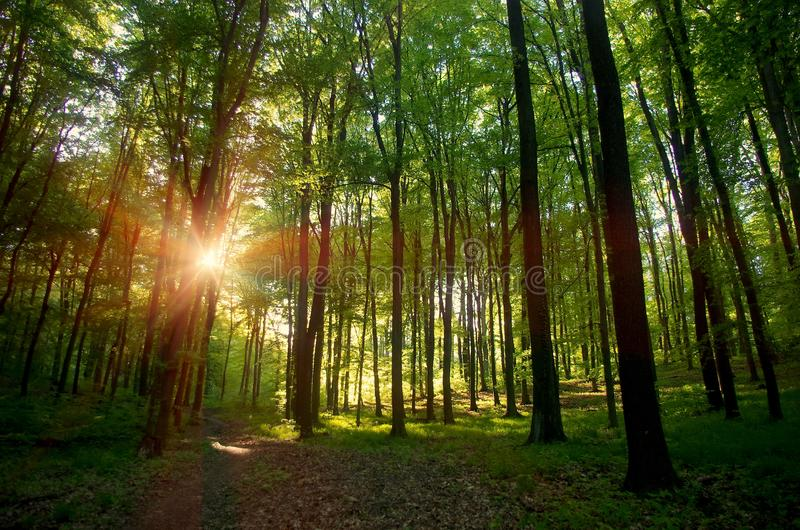 Beau soleil de Sun de lever de soleil de coucher du soleil en Sunny Forest Sunlight Sunbeams Through Woods en Forest Landscape photo stock