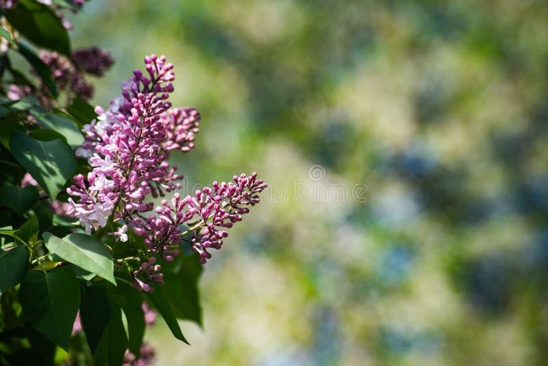 Beau syringa pourpre vulgaris sur les branches vertes photo libre de droits