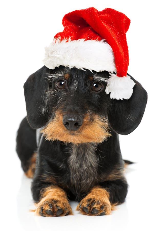 Beau teckel avec le chapeau de Santa photos libres de droits
