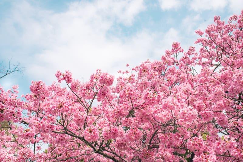 Beau temps de sakura de fleurs de cerisier au printemps au dessus de ciel bleu photo stock - Greffe du cerisier au printemps ...