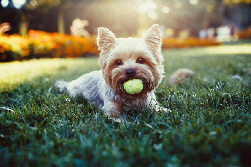 Beau terrier de Yorkshire jouant avec une boule sur une herbe images libres de droits