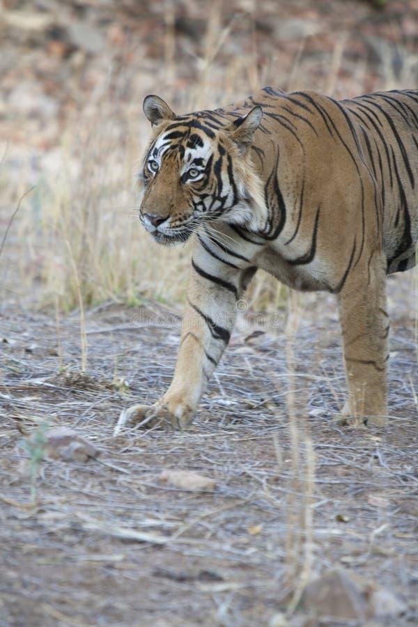 Beau tigre de Bengale photographie stock