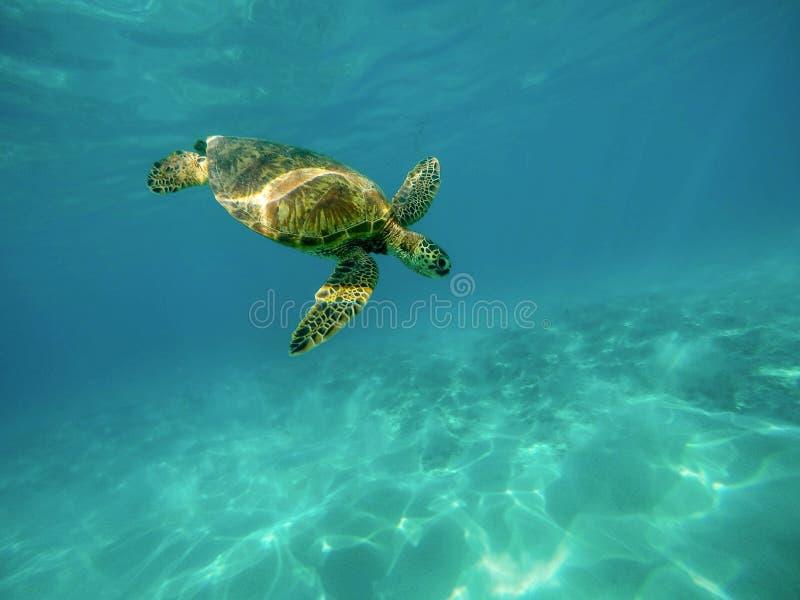 Beau tir de plan rapproché d'une grande tortue nageant sous l'eau dans l'océan image stock