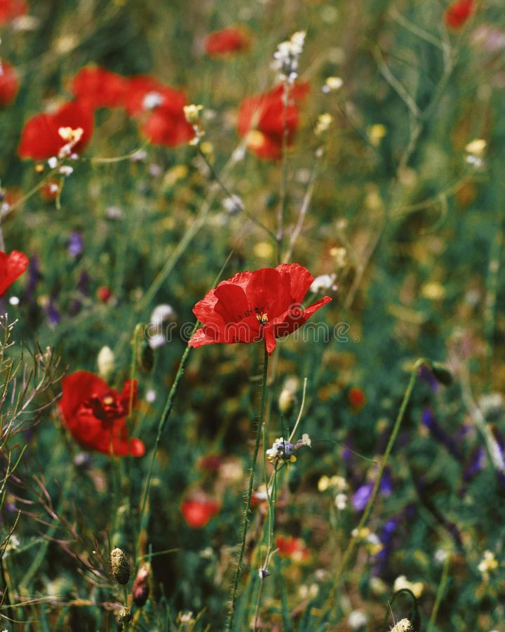Beau tir de plan rapproché des fleurs rouges de pavot fleurissant dans un domaine vert photographie stock libre de droits