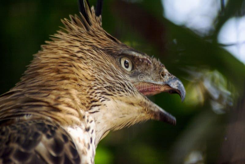 Beau tir de portrait d'oiseau de faucon images libres de droits