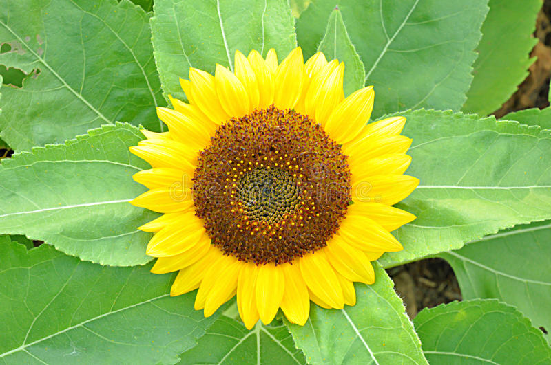 Beau tournesol photos stock