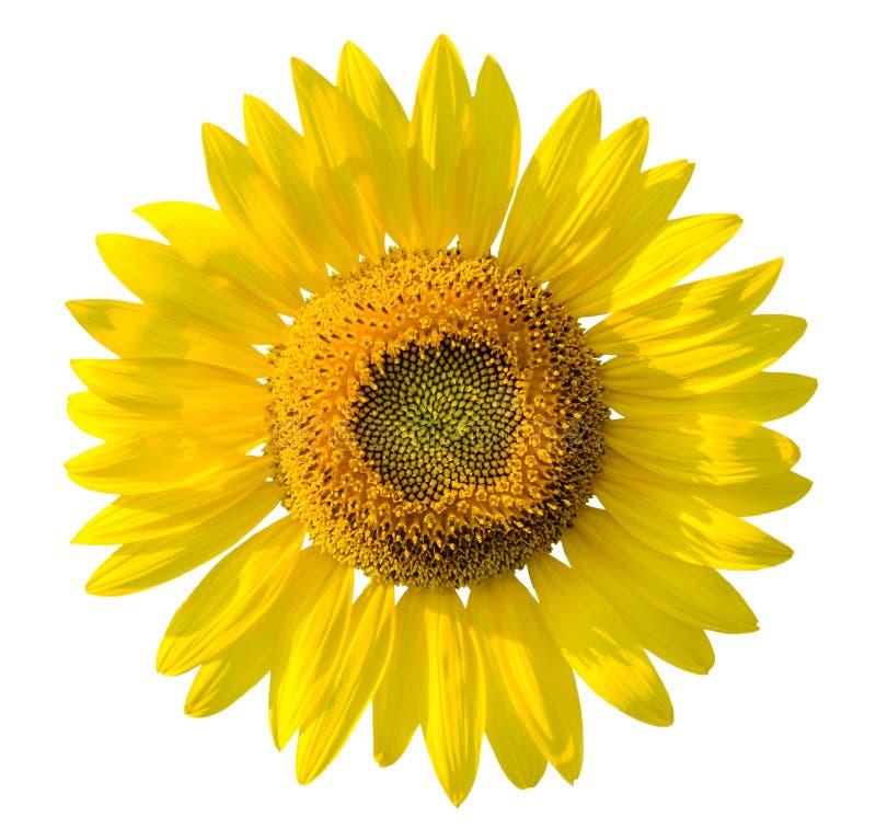 Beau tournesol jaune sur le fond blanc images stock