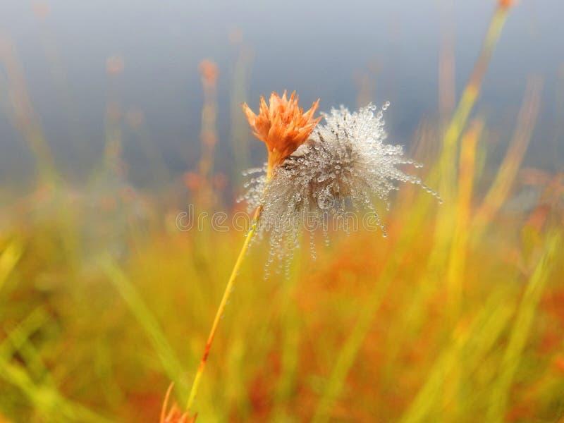 Beau ver velu sur l'herbe avec la rosée de matin, Lithuanie photographie stock libre de droits