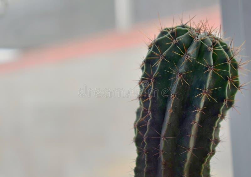 Beau, vert cactus avec le fond brouillé photos stock