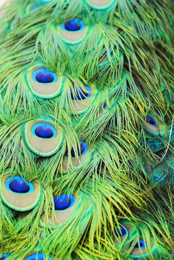 Beau vert de queue de paon avec le bleu image libre de droits
