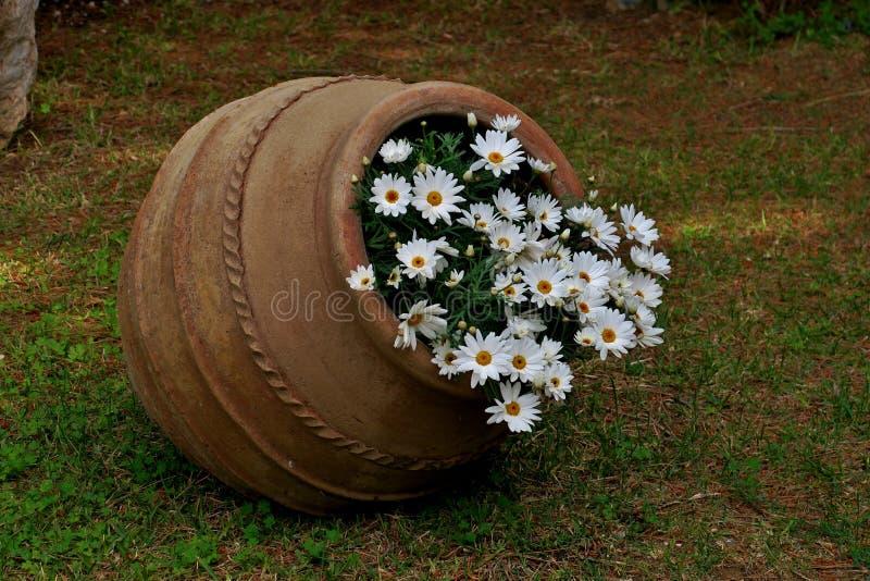 Beau vieux pot avec les marguerites blanches ?troitement  photographie stock libre de droits