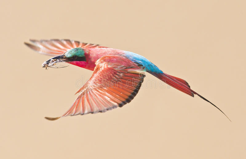 Beau vol d'oiseau, Carmine Bee Eater photo stock