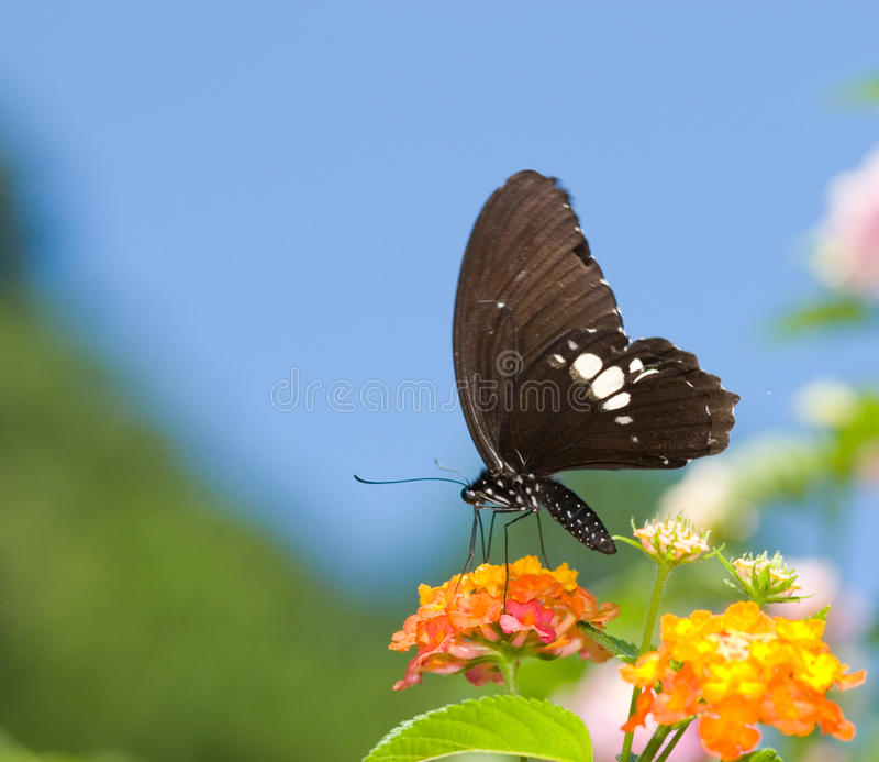Beau vol de guindineau de swallowtail photos libres de droits