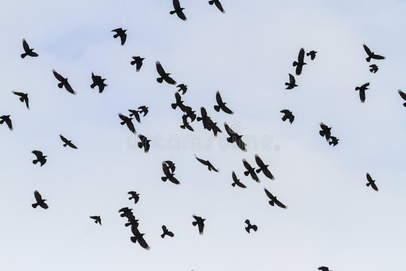 Beau vol des oiseaux noirs dans le ciel photos libres de droits