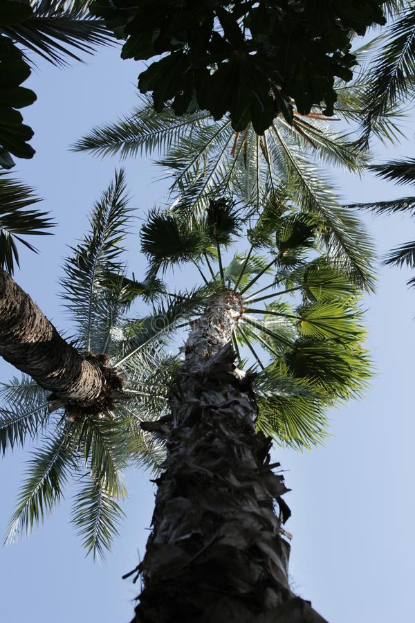 Beau Washingtonia Filifera à Elche, Espagne photo libre de droits