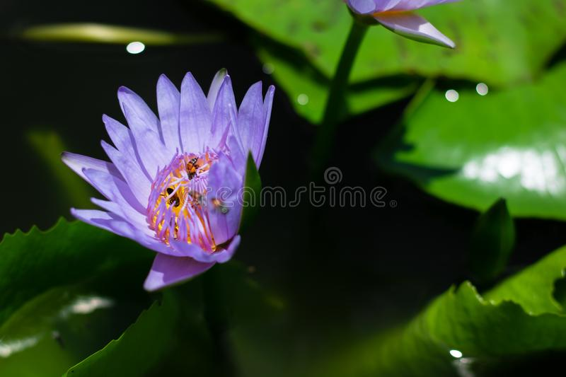 Beau waterlily ou fleur de lotus dans l'étang photo stock